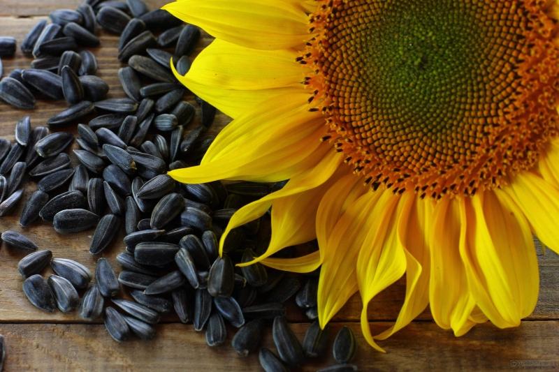 Семена подсолнечника сорта масличные, крупноплодные