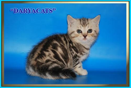 Шотландские  котята полосатые тигрята мрамор и вискас