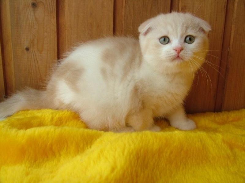 ЧУдные шотландские котята из питомника