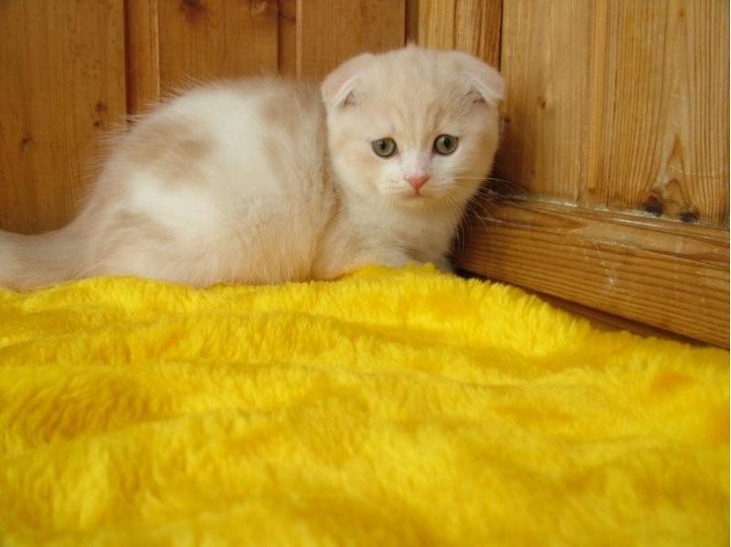 Безупречные котята шотландской породы
