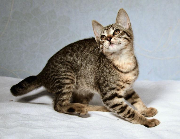 Ласковый котнок Мушка в дар. 4 месяца
