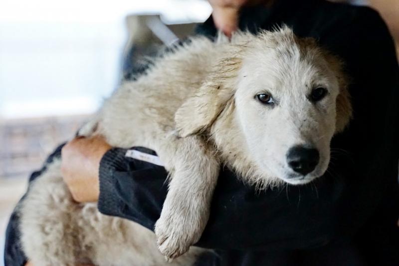 Щенки 4-х месяцев порода пиренейская сторожевая горная собака