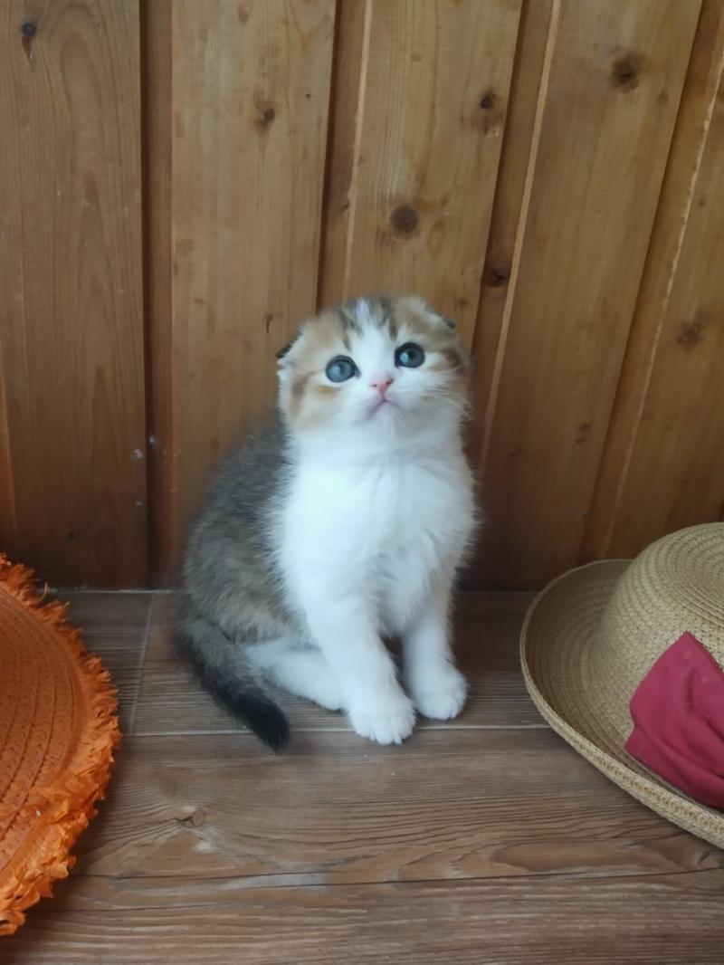 Шотландский котнок - лучший подарок