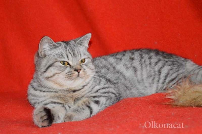 Кошечка молодая шотландская пятнистого окраса.