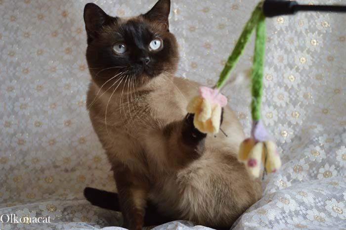В добрые руки молодой шотландский кот окраса колор-поинт.