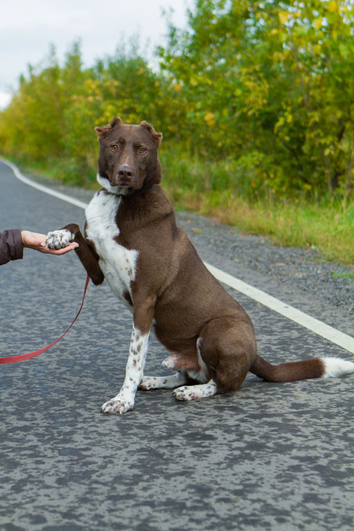 Умный красавец-пес Осман в добрые руки