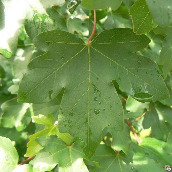 Саженцы дерева клен равнинный, от 2-х до 7м.