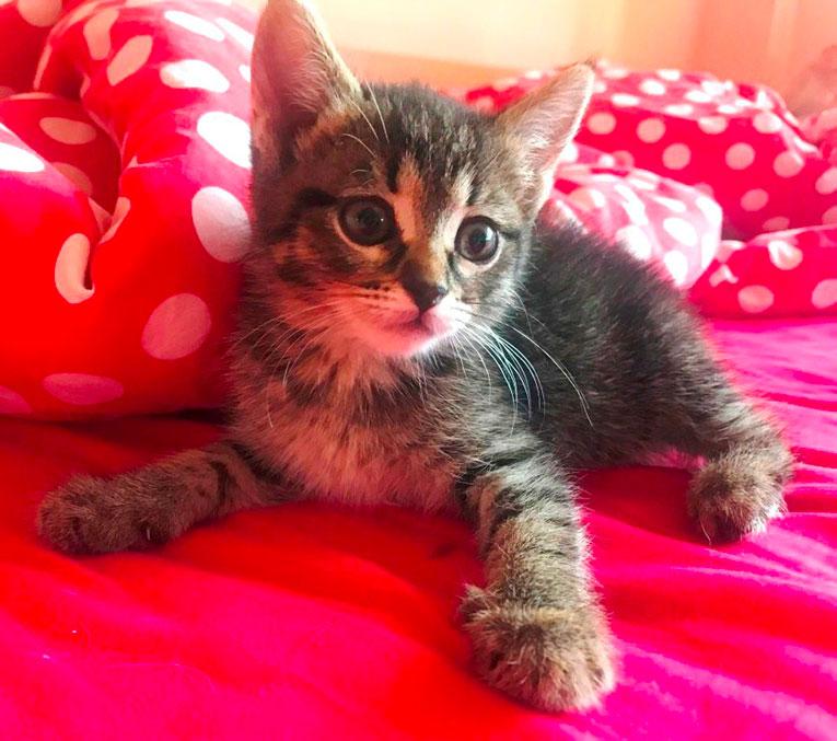 Отдам котенка Зайку в добрые руки. 1,5 месяца