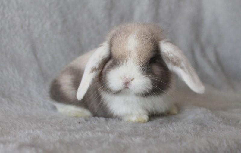 Карликовые кролики для разведения из Питомника